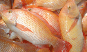 Masa Panen Ikan Nila