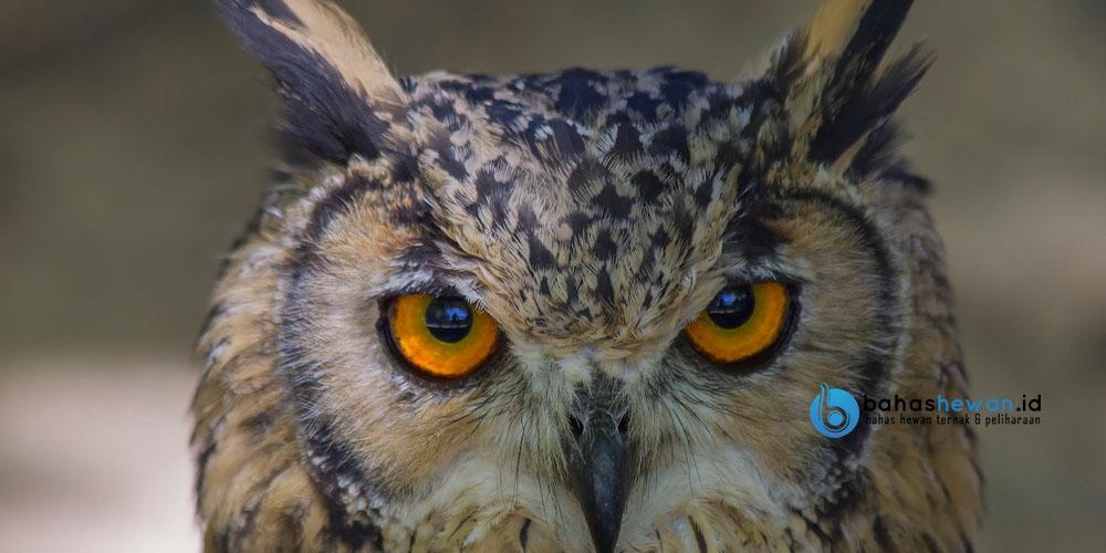 Cara Berkembang Biak Burung Hantu