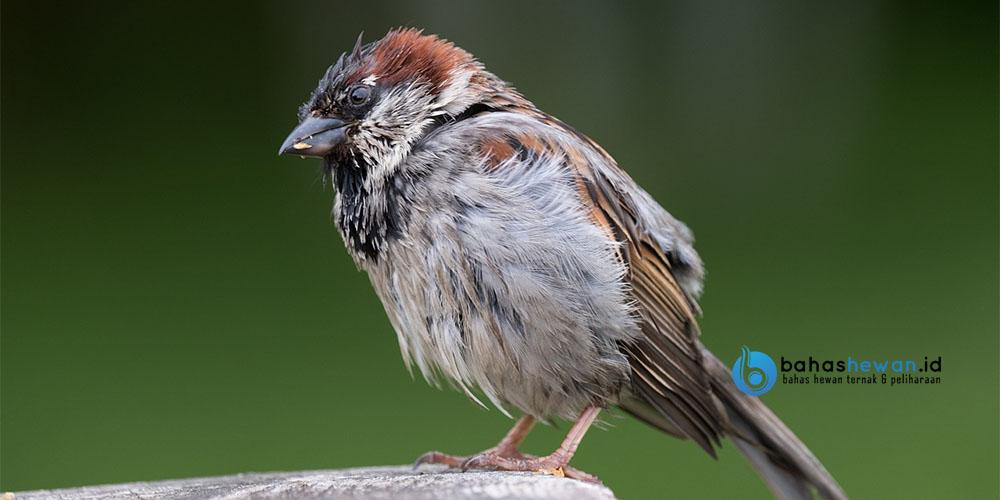 Cara Menjinakkan Burung Gereja