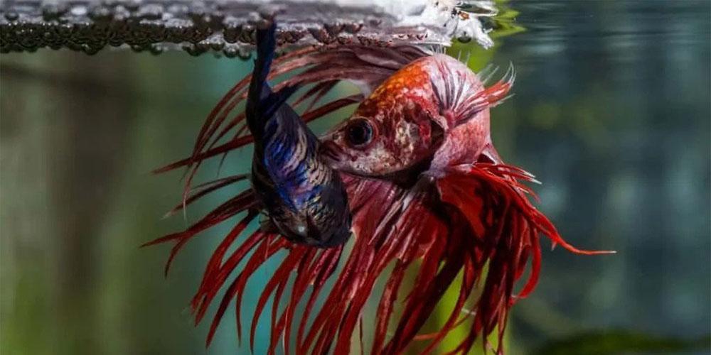 Cara ternak ikan cupang