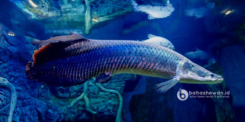 Harga Ikan Arapaima Gigas