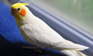 Harga burung falk australia