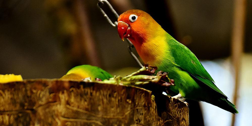 Harga lovebird hijau