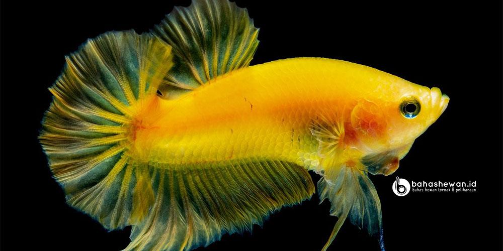 Ikan cupang soft gold