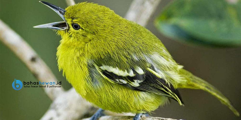 Makanan burung sirpu