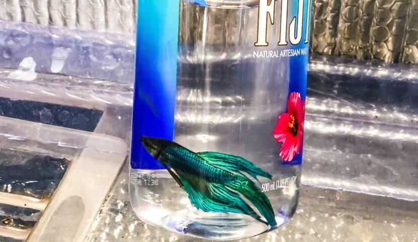 botol ikan cupang
