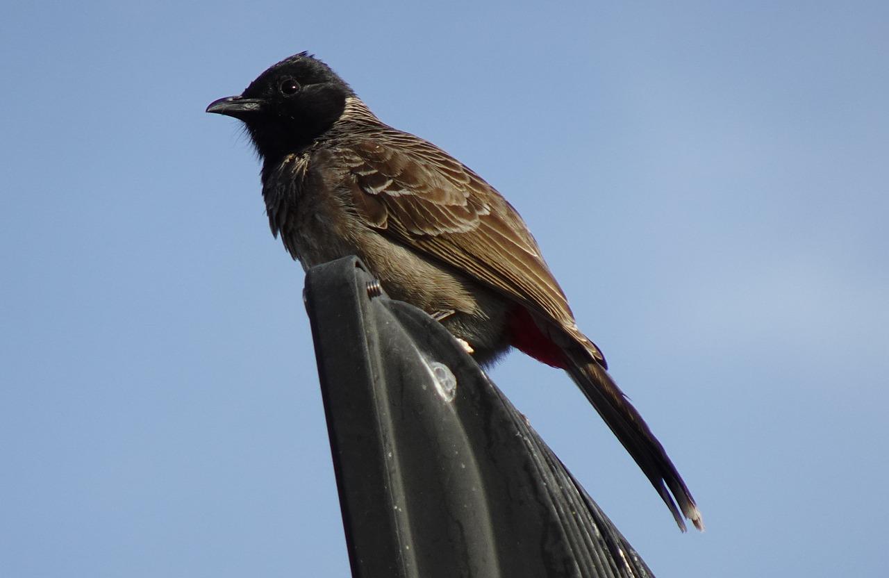 ciri ciri burung kutilang