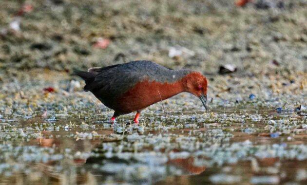 habitat burung tikusan merah