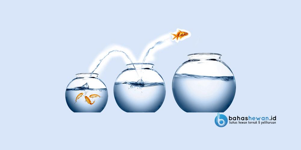 Cara Karantina Ikan Koi yang Baru Datang