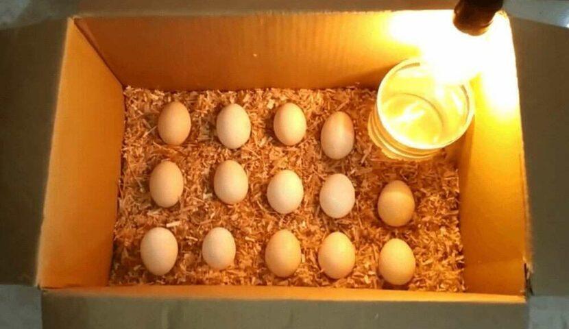 Cara Menetaskan Telur Ayam Dengan Kardus