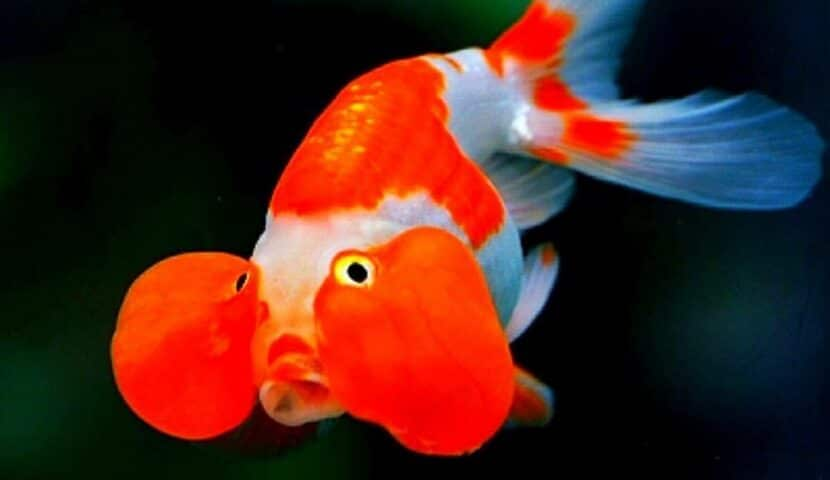 Jenis ikan mas koki bubble eye