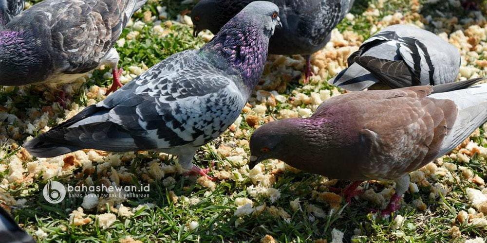 Pakan Burung Dara
