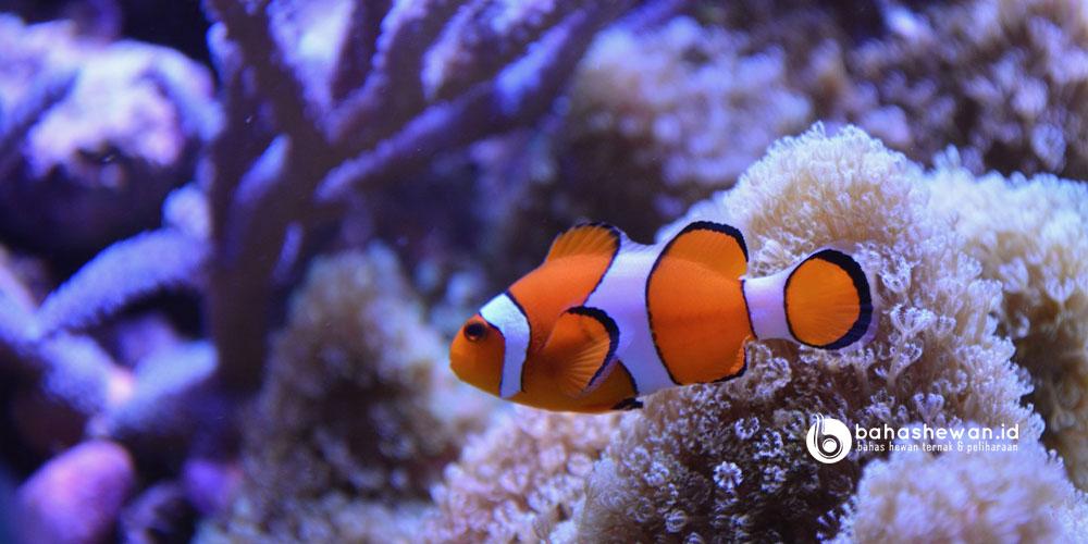 Cara Memelihara Ikan Nemo