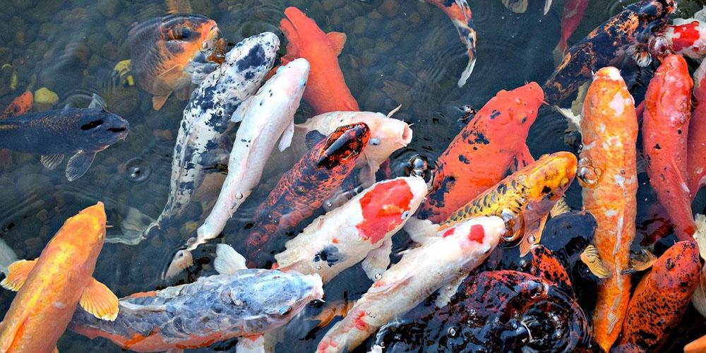 Ikan Kolam Yang Tidak Mudah Mati