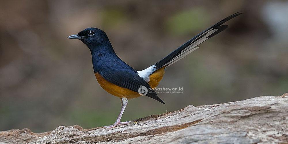Harga Burung Murai Termahal